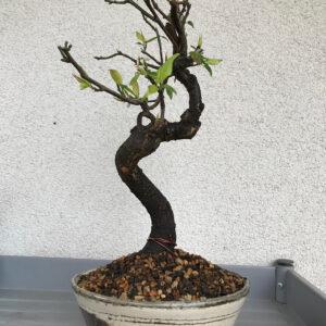 bonsaï prunus